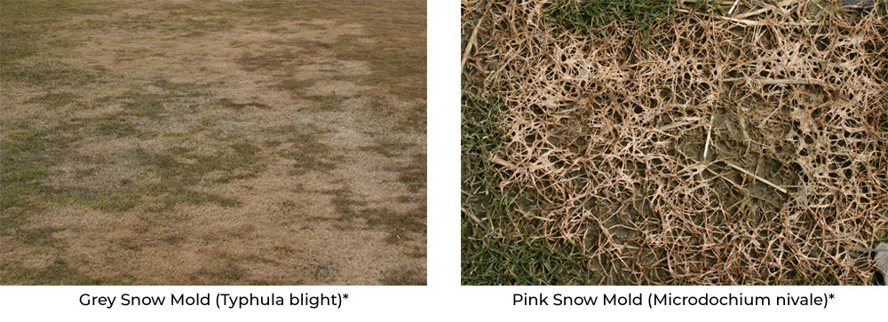 Grey Snow Mold and Pink Snow Mold