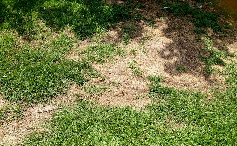 Lawn with Grub Damage