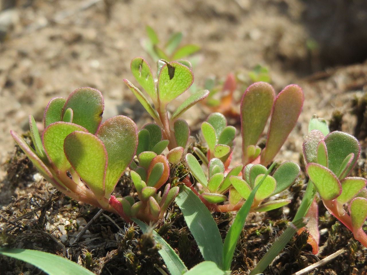 common pursulane